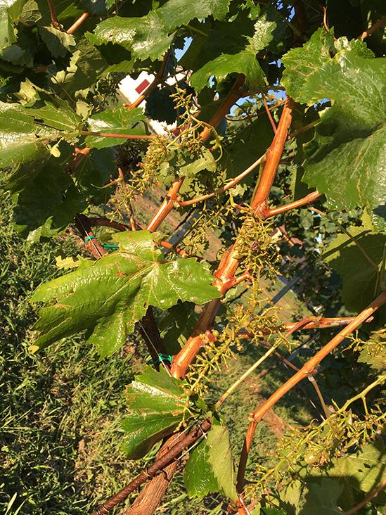 agrifarm-group-vigneto-produzione-vino-spumante-extra-dry-etichetta-treviso-veneto-05